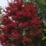 """Autumn Sugar Maple Tree"" by parexcellance"
