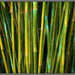 """""""Bamboo"""" by Wizard1551c"""