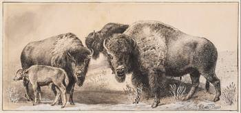 James Carter Beard~Three Buffaloes with a Calf