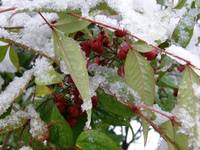 Snowy Berry Bush