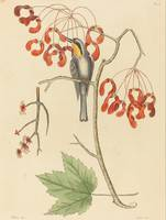 Mark Catesby~The Yellow Throated Creeper