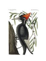 Chesek, Craig~Ivory-billed Woodpecker, Campephilus