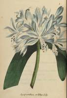 MORIARTY, HENRIETTA MARIA~African Lily, Blue Lily,