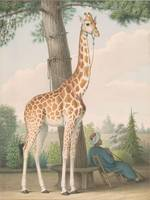 Nicolas Huet the Younger~Study of the Giraffe Give