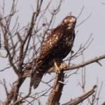 """""""Juvenile Bald Eagle"""" by parexcellance"""