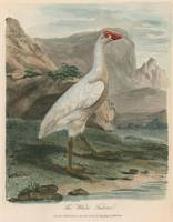 Sarah Stone (1760-1844)~Ornithological study of a
