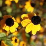 """""""yellow beauties"""" by xuxxy"""