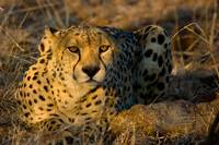 Cheeta in Morning Lighyt