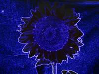 Neon Sunflower