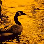 """Canada Goose on Golden Pond"" by DocPixel"