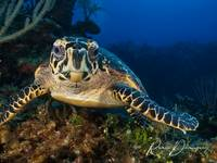 Hawksbill Portrait Two