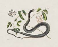 Mark Catesby~The Black Snake, The Natural History
