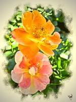 Pink And Apricot Roses