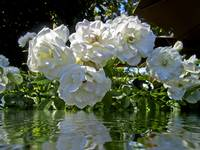White Roses Of V Sattui