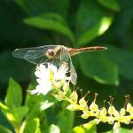 """Dragonfly Perched on White Blossom"" by DonaldRivettePhotography"