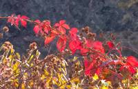 Red Leaves and Burrs (WC)