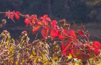 Red Leaves and Burrs (OP)