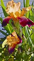 Fancy Bearded Iris 2