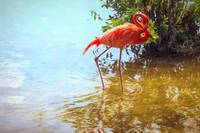 Pink Flamingo Wading In Water