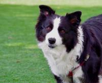 Border Collie Tilting Head