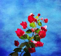 Bougainvillea in a blue sky