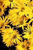 Yellow Daisies with Black