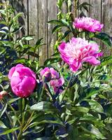 Pink Peonies By Stockade Fence