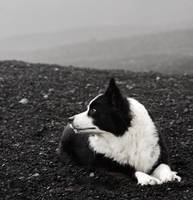 Border Collie on Mt. Fuji