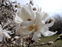 Star Magnolias in the Wind
