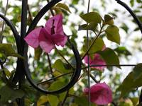 Pink Bougainvillea plant on wrought iron stand