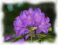 Bouquet of Azaleas