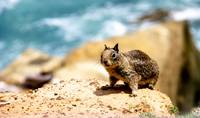 California Ground Squirrel Nature Beach Photograh
