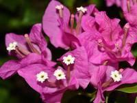 twirls of Bougainvillea