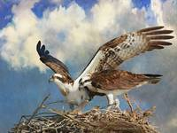 baja ospreys on nest