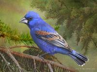 male blue grosbeak in the yard