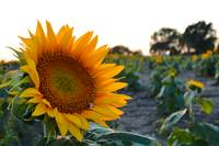 Sunflower 0348_1