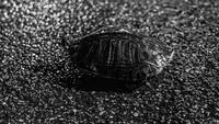 Turtle in Road