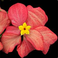 mussaenda black background