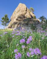 Purple Flowers in the Black Hills