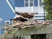 Osprey in May