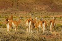 Group of Guanacos at Patagonia Landscape