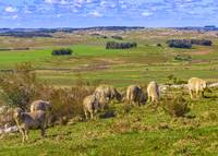 Sheeps at Countryside Landscape Scene, Uruguay