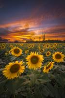 Sunflower Field Sunset by Cody York_X7A5310