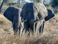 ElephantGroupof3inGrass