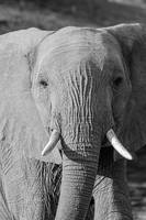 Elephant w/ Gorgeous Eyes Looking & Walking B&W