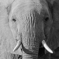 Elephant Head w/ Tusks Close Up, Black & White