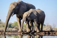 Elephant Family Drinking by Water w/ Reflection