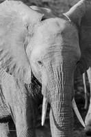 Elephant with Tusks Black and White Photograph