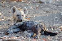 Baby Hyena Relaxing in Botswana Photograph