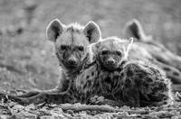 Baby Hyenas Resting Together Black and White Photo